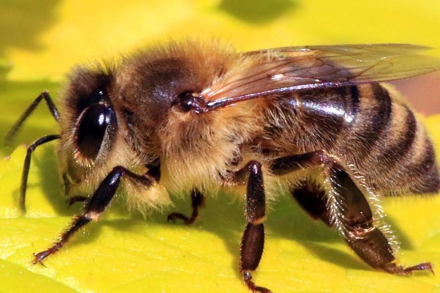 Bị ong đốt là điềm báo gì? Con số may mắn và cách xử lý